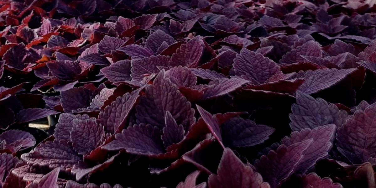 Hamelli Zahradnictvo Colleus