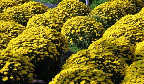 hamelli zahradnictvo chryzantema 20