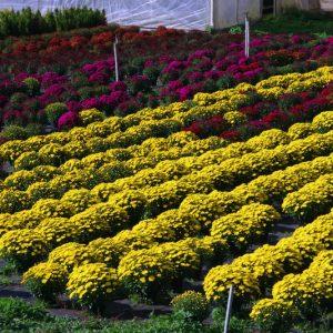 hamelli zahradnictvo chryzantema 21